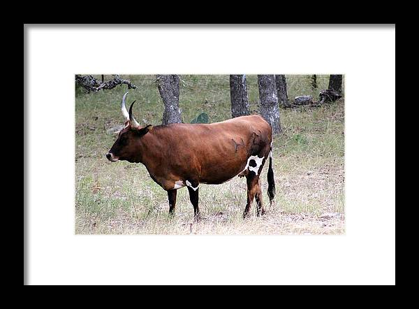 Longhorn Framed Print featuring the photograph Texas Longhorn by Kristie Briones