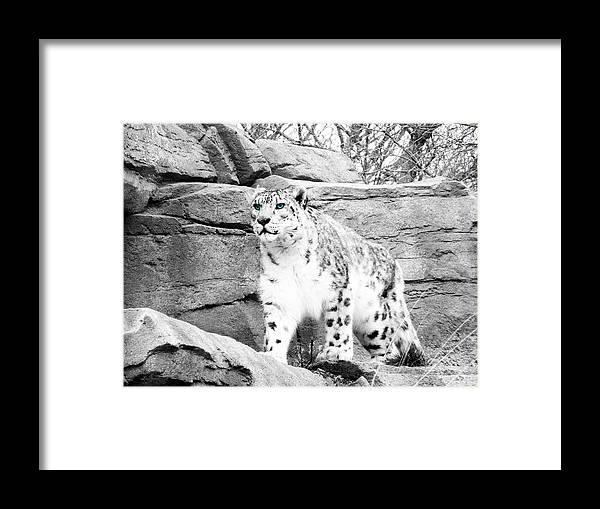 Snow Leopard Framed Print featuring the photograph The Eyes Have It by Debbie Nobile