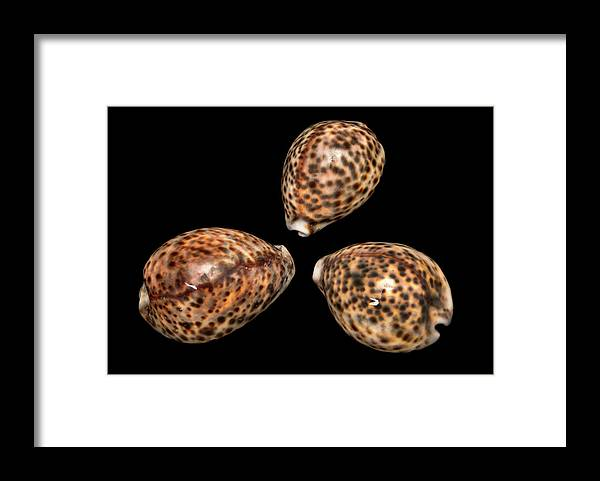 Anatomy Framed Print featuring the photograph Tiger Cowrie by Natural History Museum, London