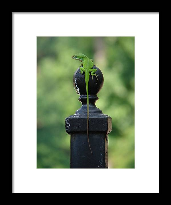 Lizard Framed Print featuring the photograph Tip To Tail by Katherine Sumpter