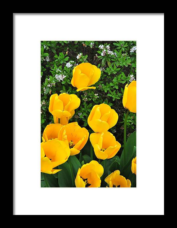 Colors Framed Print featuring the photograph Tulips. by Oscar Williams
