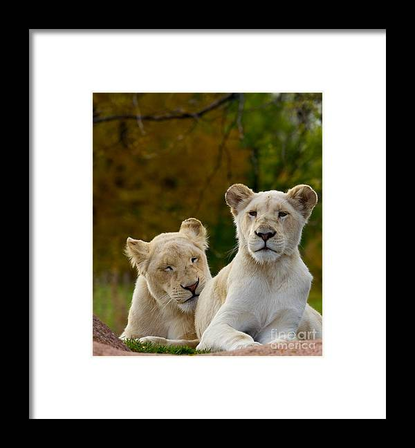 Pride Framed Print featuring the photograph Two White Lions by Les Palenik