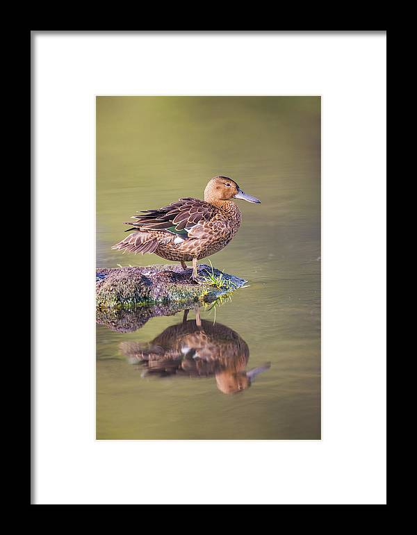 Anatidae Framed Print featuring the photograph Usa, Wyoming, Cinnamon Teal Rests by Elizabeth Boehm