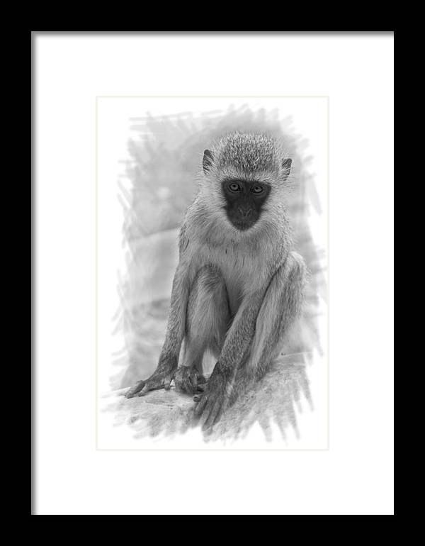 Africa Framed Print featuring the digital art Vervet Monkey by Phil Dyer