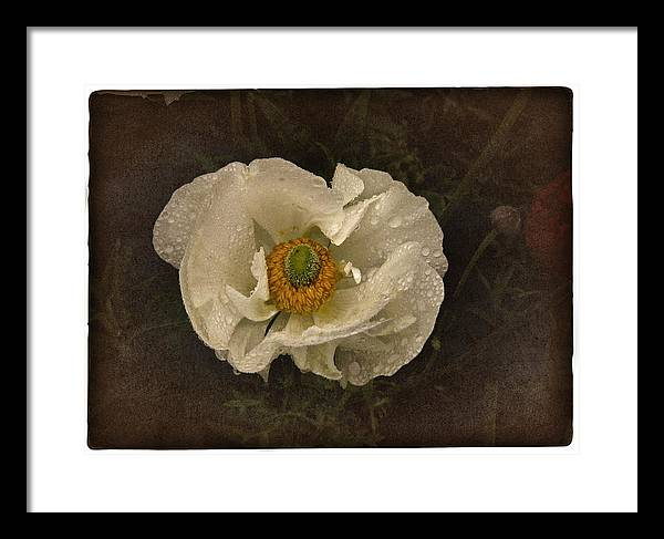 White Poppy Framed Print featuring the photograph Vintage White Poppy by Richard Cummings