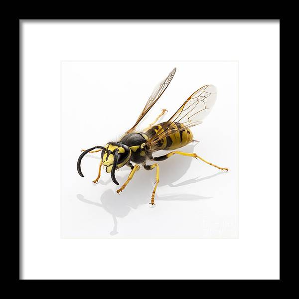 Striped Framed Print featuring the photograph Wasp Isolated by Pablo Romero