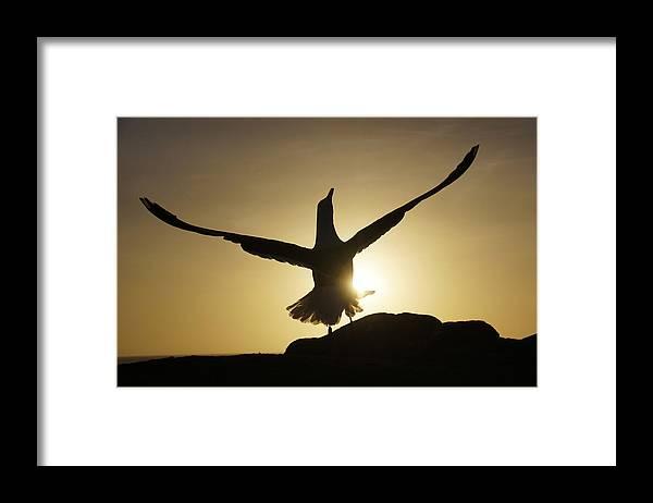 Feb0514 Framed Print featuring the photograph Western Gull At Sunset California by Hiroya Minakuchi