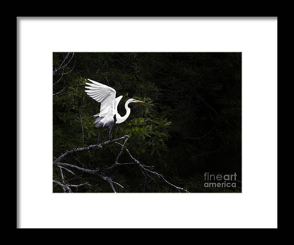 Bird Framed Print featuring the photograph White Egret's Takeoff by J L Woody Wooden