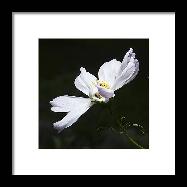 Flower Framed Print featuring the photograph White Flower In Bloom by Donald Erickson