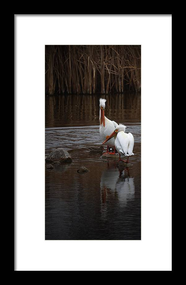 American White Pelican Framed Print featuring the photograph White Pelicans by Ernie Echols