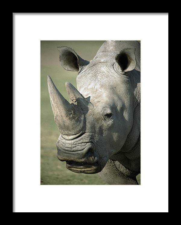 Feb0514 Framed Print featuring the photograph White Rhinoceros Portrait by San Diego Zoo