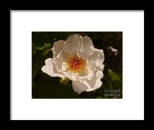 White Rose Framed Print featuring the photograph White Rose by Christiane Schulze Art And Photography