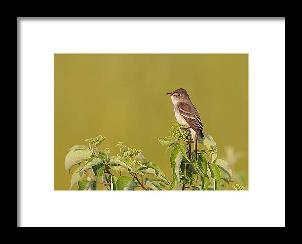 Willow Flycatcher Framed Print featuring the photograph Willow Flycatcher by Daniel Behm