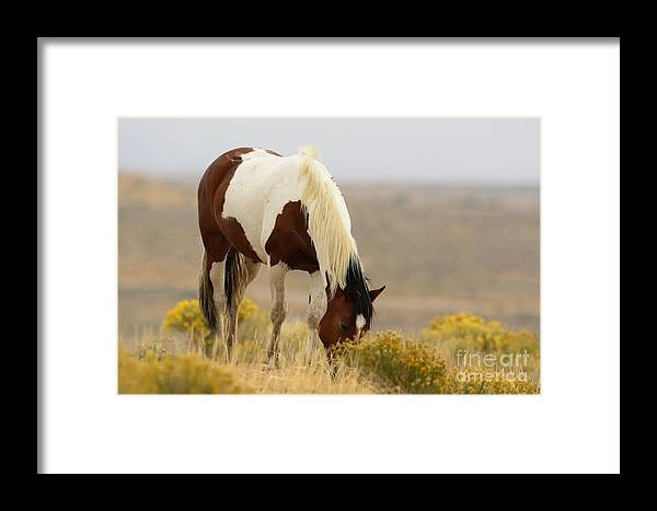 Mammal Framed Print featuring the photograph Wyoming Drifter by Dennis Hammer