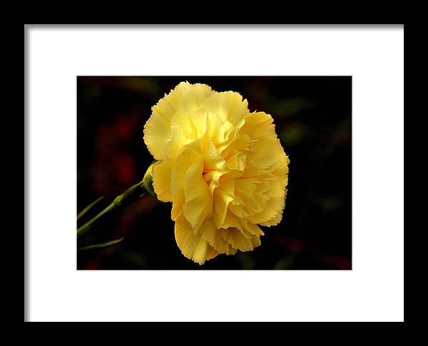 Yellow carnation flower framed print by johnson moya yellow flower framed print featuring the photograph yellow carnation flower by johnson moya mightylinksfo