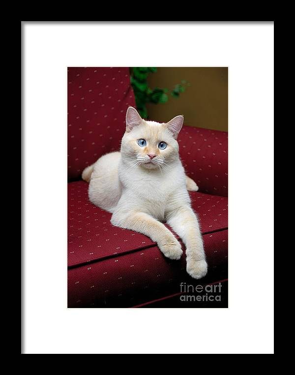 Blue Eyes Framed Print featuring the photograph Flame Point Siamese Cat by Amy Cicconi