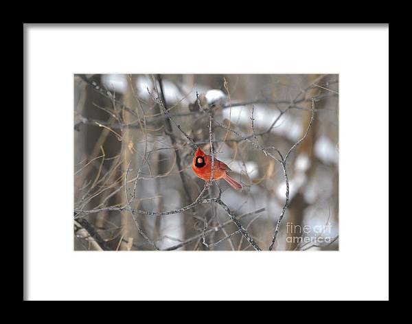 Cardinal Framed Print featuring the photograph I See You by Robert Smice