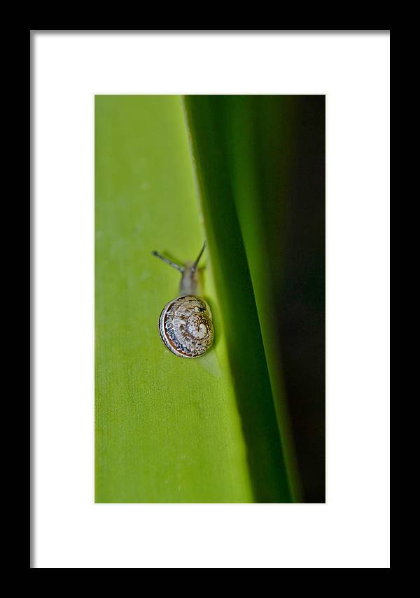 Close Up; Garden; Snail; Plant; Leaf; Spiral; House; Gastropod; Mollusc; Green; Decorative; Background; Nature; Animal; Framed Print featuring the photograph Snail On Leaf by Werner Lehmann