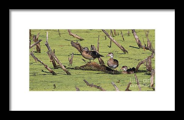 Nature Framed Print featuring the photograph Wood Duck by Jack R Brock
