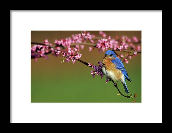 Avian Framed Print featuring the photograph Eastern Bluebird (sialia Sialis by Richard and Susan Day