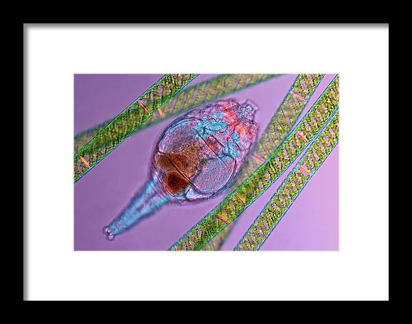 Animal Framed Print featuring the photograph Rotifer by Marek Mis