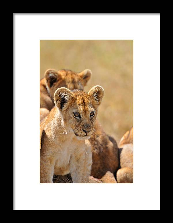 Lion Framed Print featuring the photograph Lion With Cubs by Mark Rasmussen