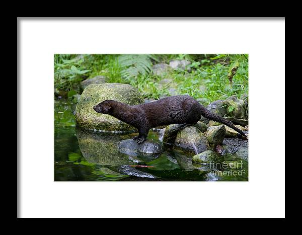 American Mink Framed Print featuring the photograph 121213p013 by Arterra Picture Library