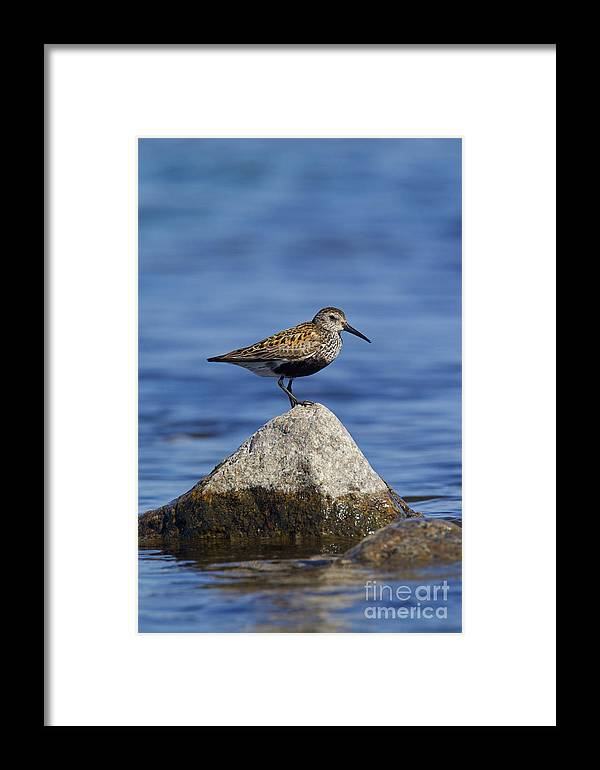 Calidris Alpina Framed Print featuring the photograph 121213p019 by Arterra Picture Library