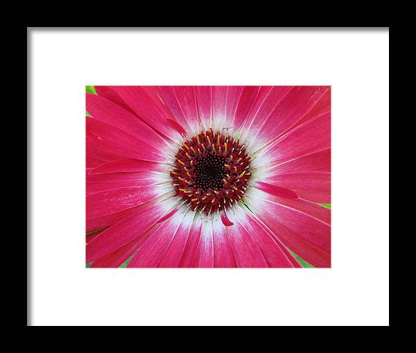 Flowers Framed Print featuring the photograph Gerbera Daisy by Michele Caporaso