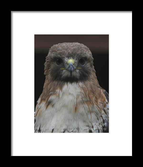 4012 Framed Print featuring the photograph Red-tailed Hawk by Ken Keener