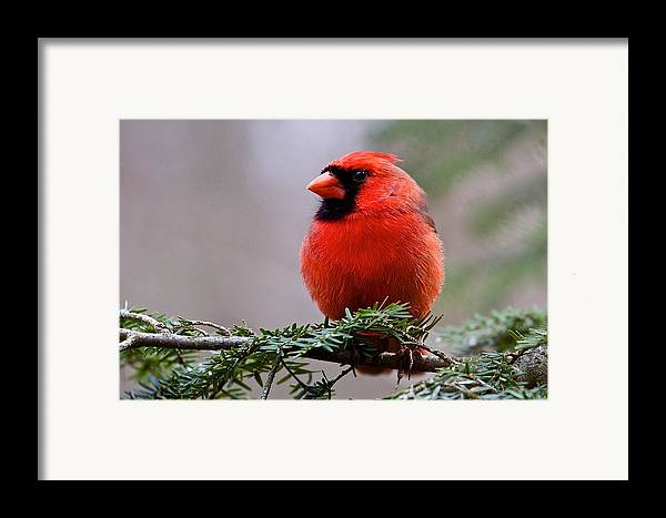 Nature Framed Print featuring the photograph Northern Cardinal Male by Dan Ferrin