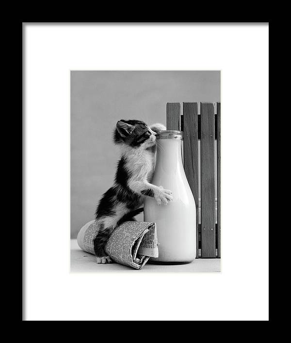 Photography Framed Print featuring the photograph 1960s Kitten Straddled On Hind Legs by Vintage Images