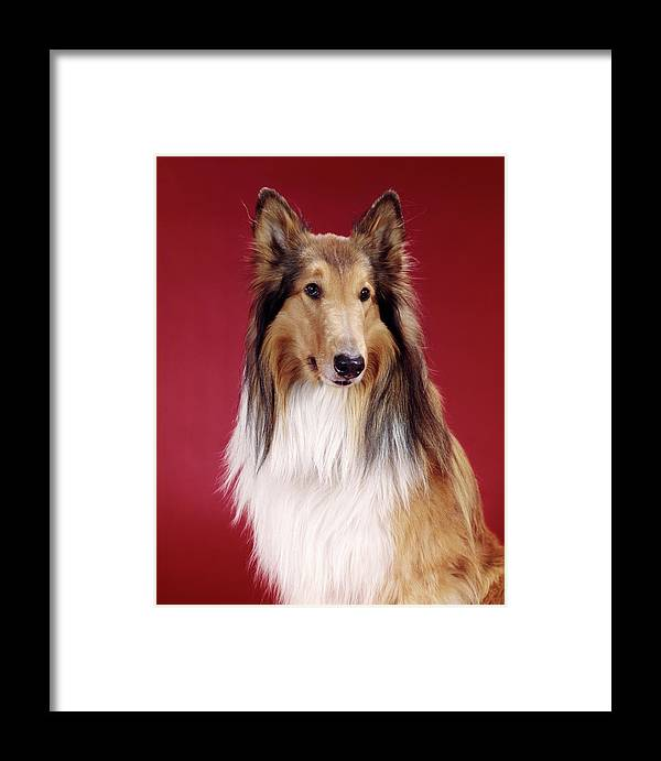 Photography Framed Print featuring the photograph 1960s Portrait Of Collie Dog On Red by Vintage Images
