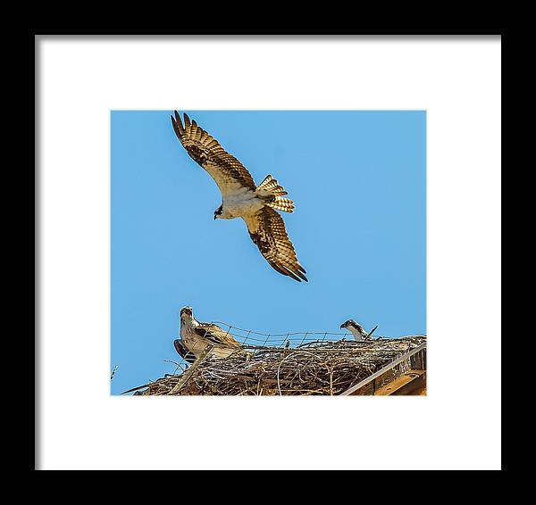 Doves Framed Print featuring the photograph 3 Ospreys At The Nest by Brian Williamson