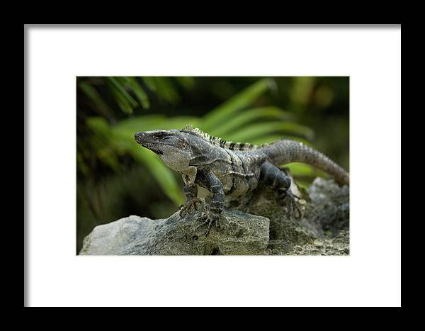 Caribbean Coast Of Mexico Framed Print featuring the photograph An Iguana Sunbathes In The Ancient by Chico Sanchez