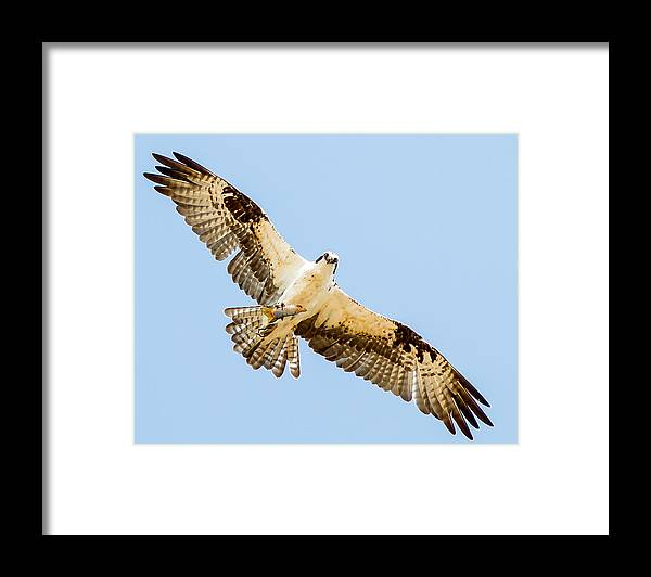Doves Framed Print featuring the photograph An Osprey Feeding On A Trout by Brian Williamson
