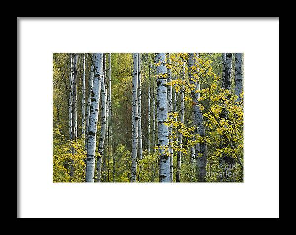 Coeur D Alene Forest Framed Print featuring the photograph Aspen Gold by Idaho Scenic Images Linda Lantzy