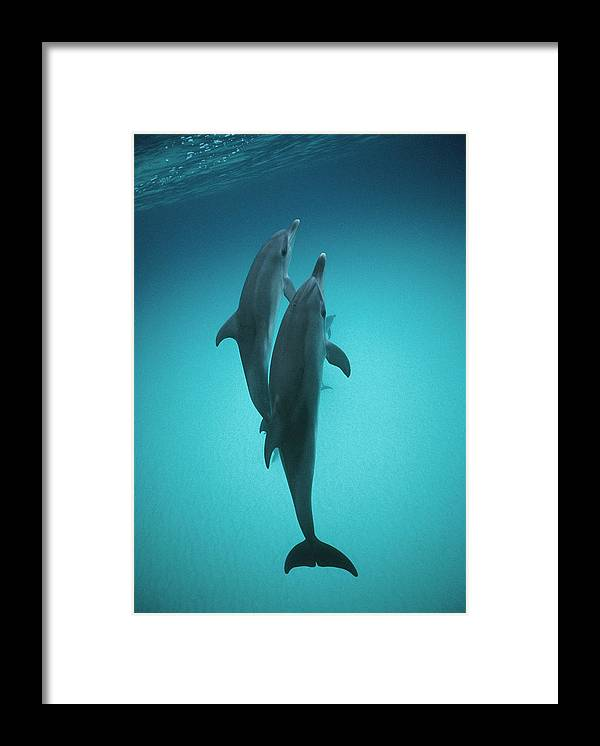Feb0514 Framed Print featuring the photograph Atlantic Spotted Dolphin Pair Bahamas by Flip Nicklin