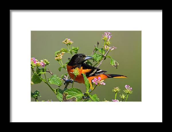 Adult Framed Print featuring the photograph Baltimore Oriole (icterus Galbula by Larry Ditto