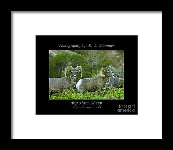 Wildlife Framed Print featuring the photograph Big Horn Sheep by Dennis Hammer