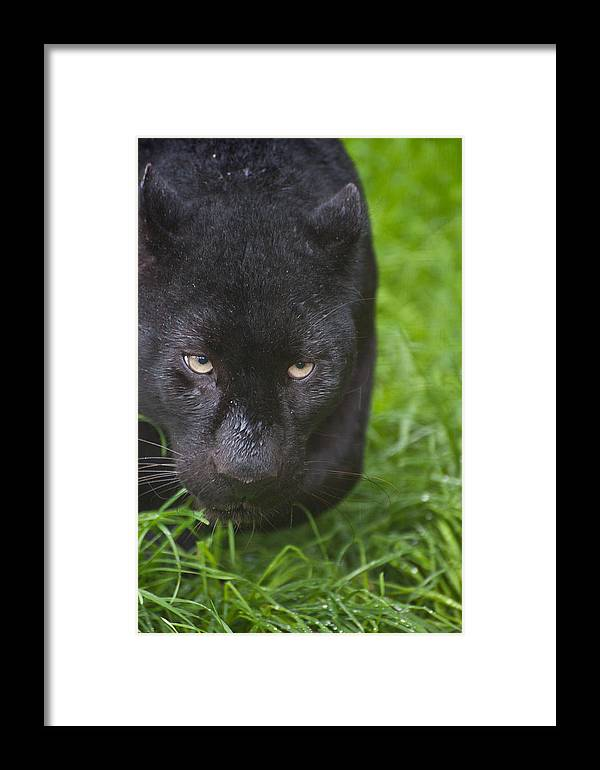 Cat Framed Print featuring the photograph Black Leopard by Matthew Gibson
