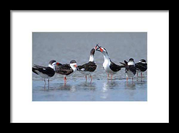 Animal Framed Print featuring the photograph Black Skimmers by Richard Hansen
