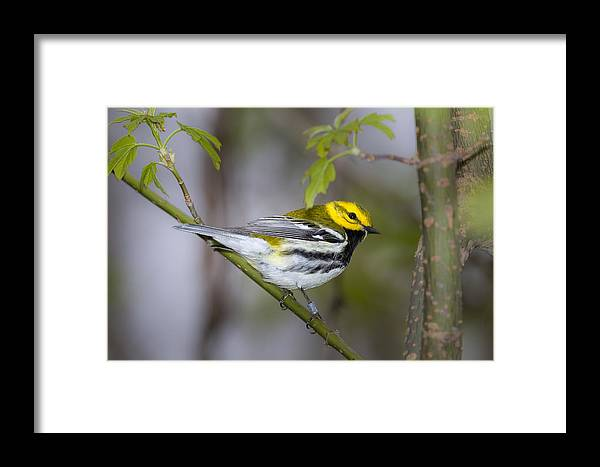 Animal Framed Print featuring the photograph Black Throated Green Warbler by Jack R Perry