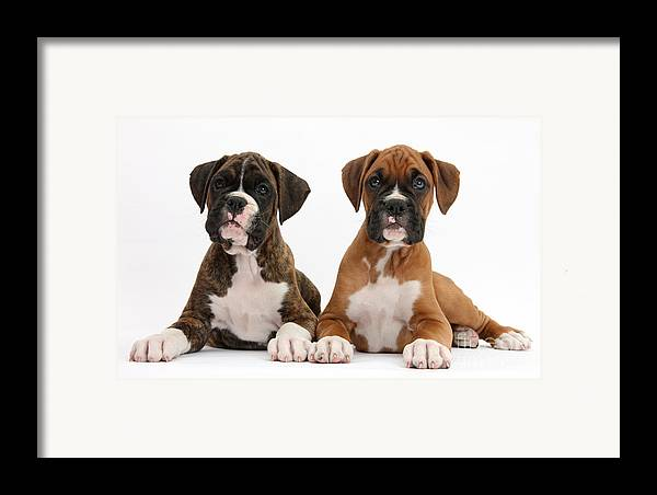 Nature Framed Print featuring the photograph Boxer Puppies by Mark Taylor