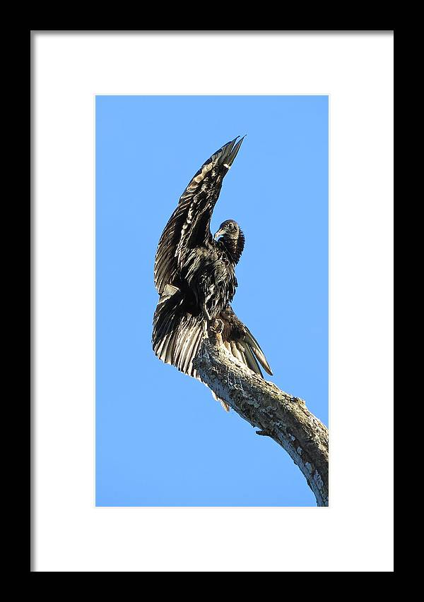 Buzzard Framed Print featuring the photograph Black Vulture by Lindy Pollard