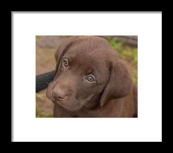 7 Weeks Old Framed Print featuring the photograph Chocolate Labrador Retriever Puppy by Linda Arndt