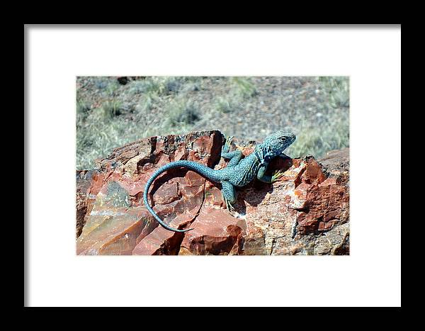 Collared Lizard Framed Print featuring the photograph Collared Lizard by Susan Woodward