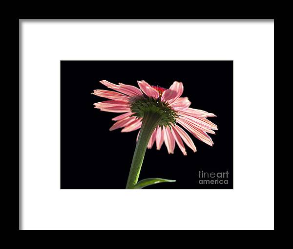 Echinacea Framed Print featuring the photograph Coneflower by Tony Cordoza