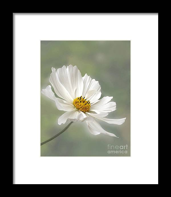 Cosmos flower in white framed print by kaye menner photography framed print featuring the photograph cosmos flower in white by kaye menner mightylinksfo
