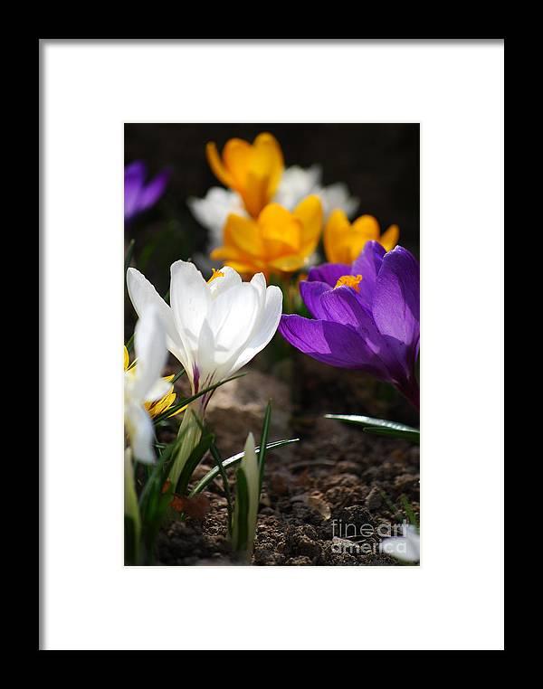 Crocus Framed Print featuring the photograph Crocus by Sarka Olehlova